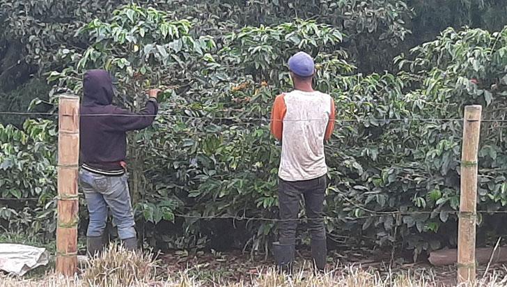 Hay café en Quindío, pero los recolectores son cada vez menos