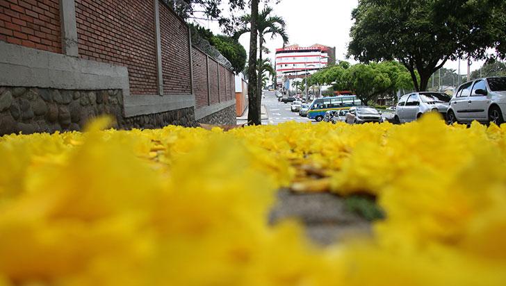 Viendo caer las flores de los guayacanes en Armenia