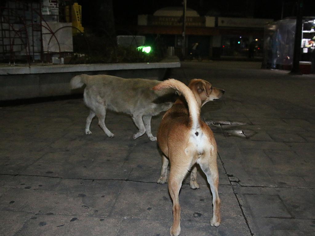 Urgen esterilizaciones masivas para controlar la sobrepoblación de perros