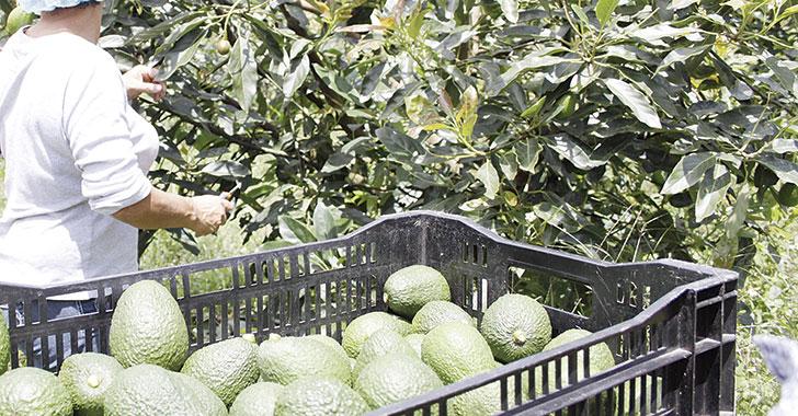 Empresa quindiana exportará 66 toneladas de aguacate hass