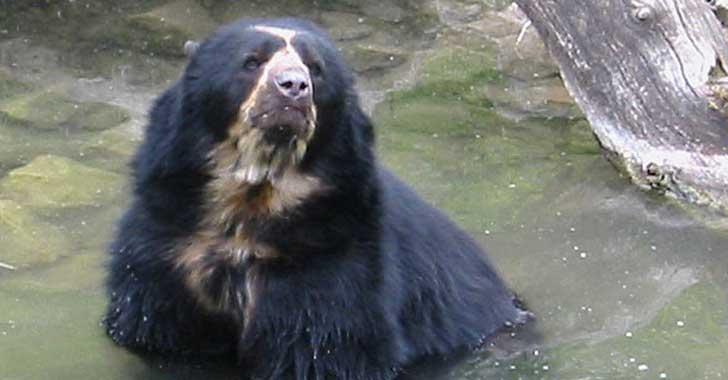 Gobierno investiga asesinato de oso de anteojos y ofrece recompensa