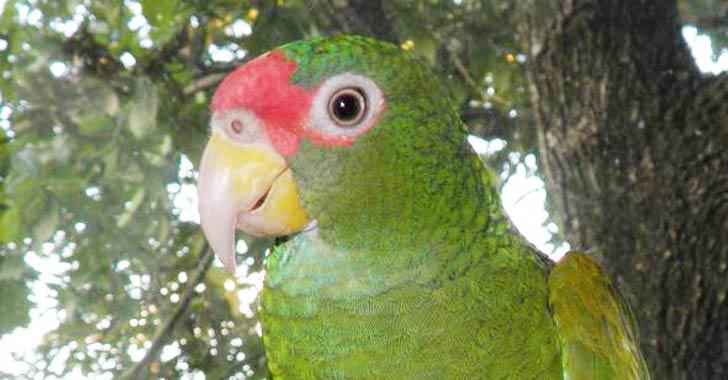 Amazonas de alas azules, la nueva especie de loro descubierta en México