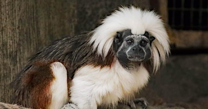 Colombiana lidera campaña internacional para salvar una especie del mono tití