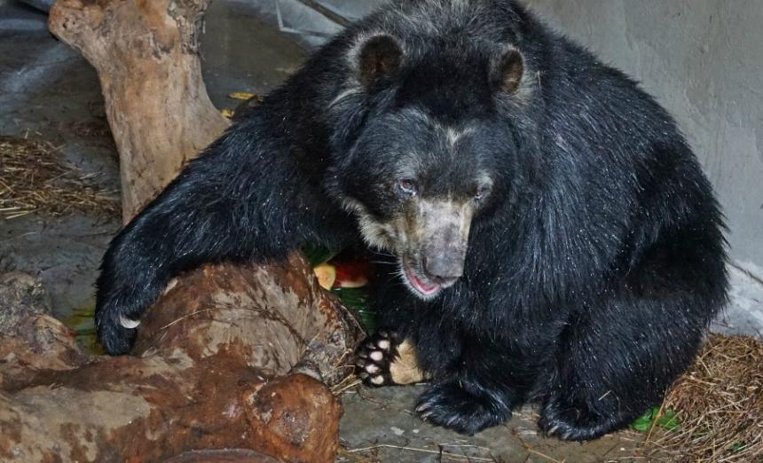 Chucho, el oso de anteojos que ganó en la Corte Suprema de Justicia y volverá a su hábitat