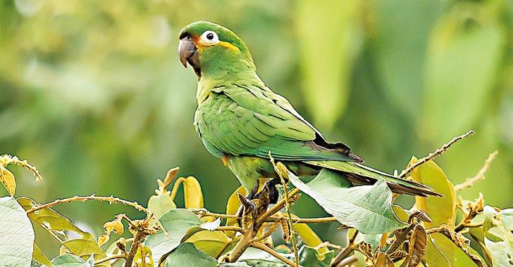 """""""En Quindío, seis especies de aves están en peligro de extinción"""""""