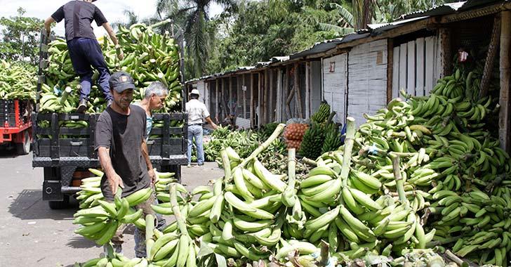 Productores de plátano atraviesan crisis por caída de precios