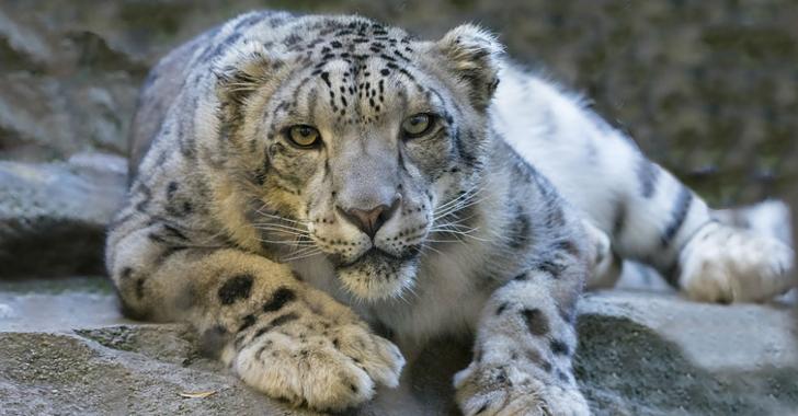 WWF pide a países aumentar esfuerzos para salvar al leopardo de las nieves