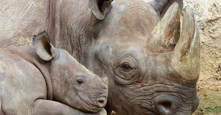 Polémico: Sudáfrica inicia la primera subasta en línea de cuernos de rinoceronte