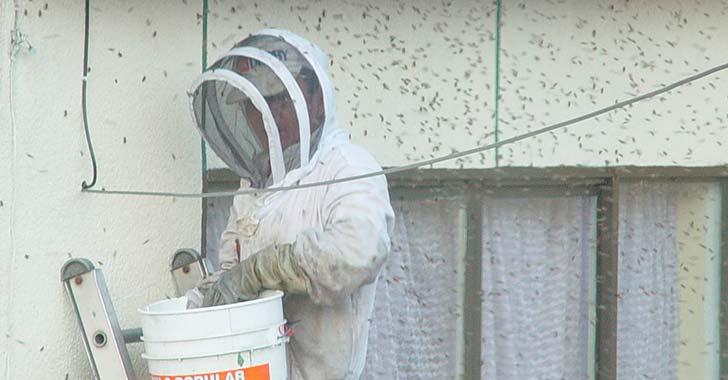 Más del 60% de las abejas han muerto en Quindío