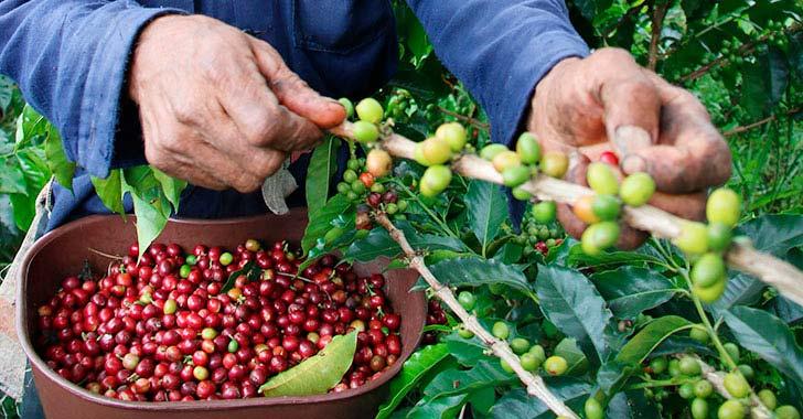 241 productores quindianos participarán en Cafés de Colombia Expo