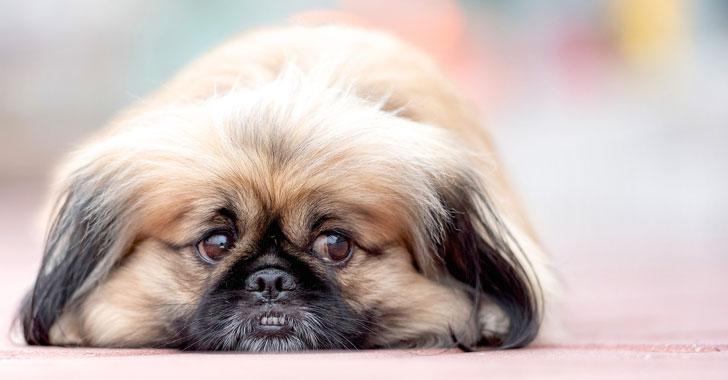 Los perros usan más expresiones faciales si se les presta atención