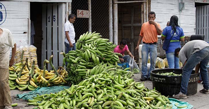 En 2018 productores quindianos de plátano empezarían a exportar