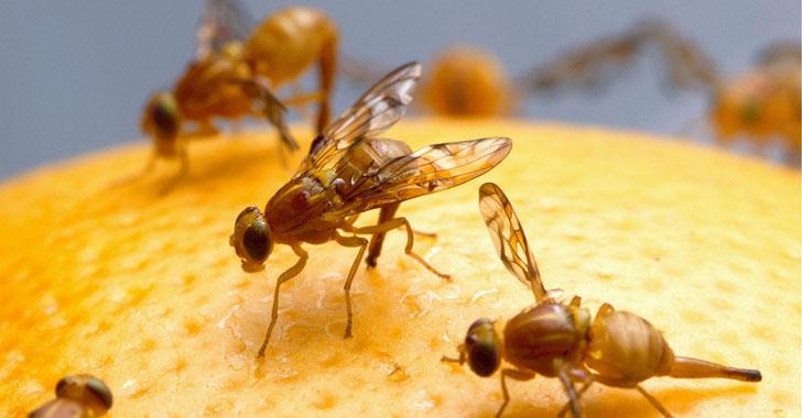 Funcionamiento del cerebro de mosca de la fruta podría ayudar a la ingenieria informática