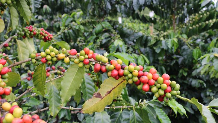 """""""Variabilidad climática tiene comprometidas las cosechas de café de 2018"""""""