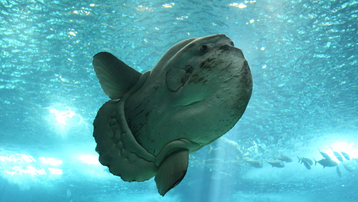 Este animal de 2.300 kilogramos es el pez óseo más grande del mundo