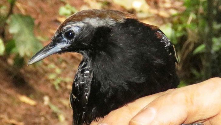 Descubren en la Amazonía peruana una nueva especie de ave