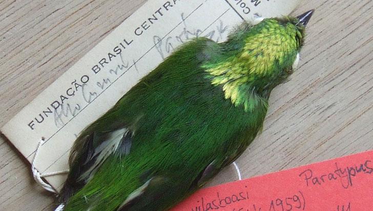 Saltarín coronidorado, la primera ave híbrida del Amazonas en ser registrada
