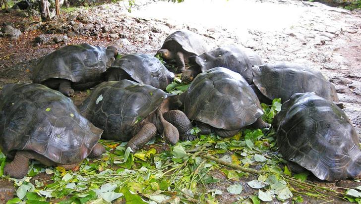 Luego de un siglo, nacen tortugas en isla de Galápagos