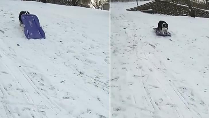 ¡Asombroso! perrita se desliza en trineo por la nieve sin ayuda