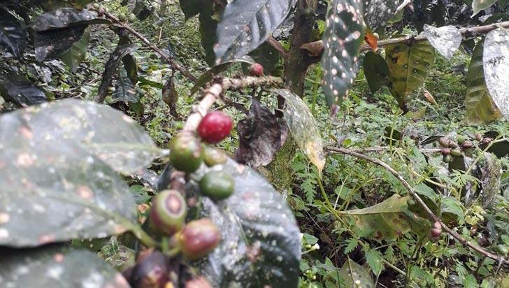 Arañera y gotera, enfermedades provocadas por lluvias, afectan cafetales de Filandia