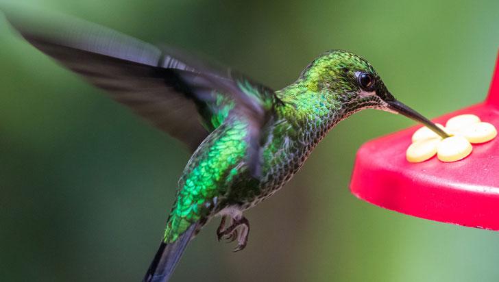 ¿Cuál es el secreto detrás del ágil vuelo de los colibríes?