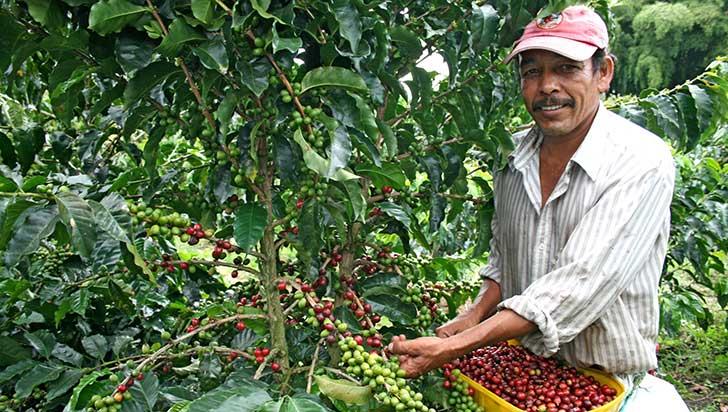 Preocupación en el Quindío por baja producción de café