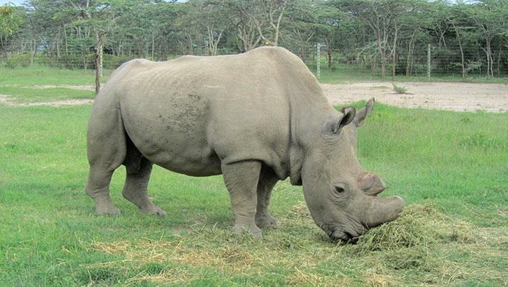 Murió el último rinoceronte blanco del norte macho que quedaba en el mundo