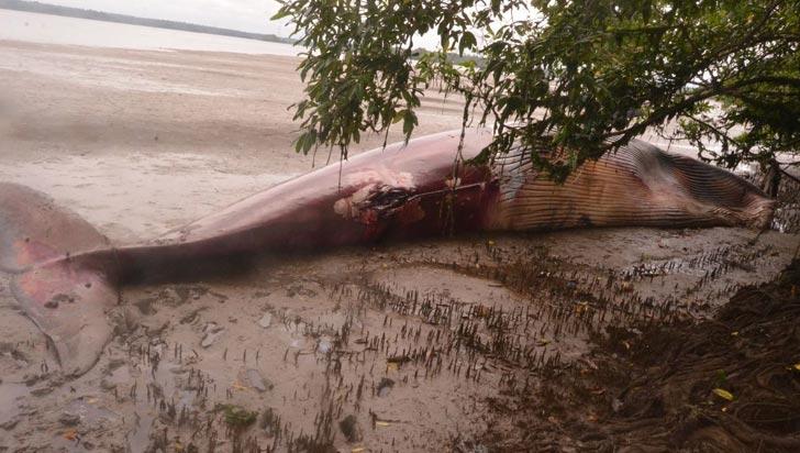 Autoridades hallaron una ballena jorobada muerta en playa de Buenaventura