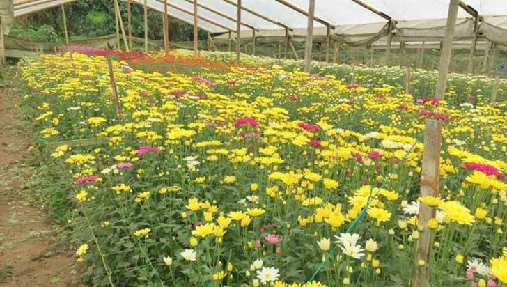 Quindío fue declarado como área libre de roya blanca del crisantemo