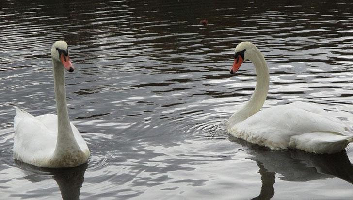 Pareja de cisnes gays adoptó un vaso de plástico y atacó a personas para defenderlo