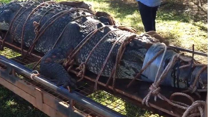 Un cocodrilo del tamaño de un carro, atrapado en Australia tras 10 años de búsqueda