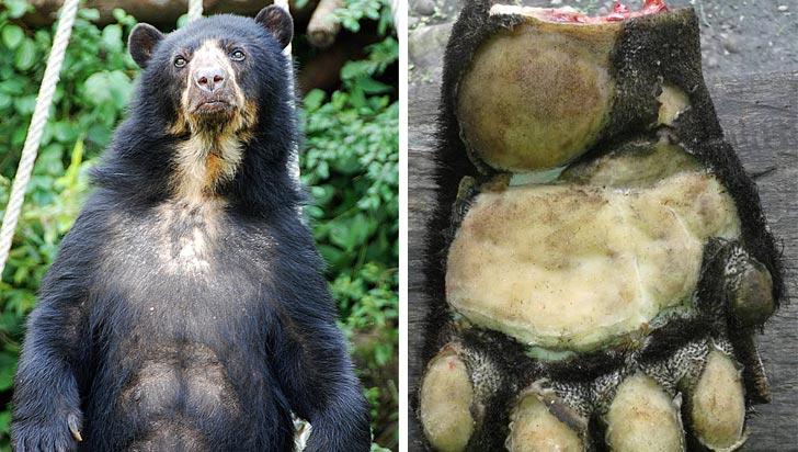 Oso de anteojos fue asesinado y descuartizado en Arauca para comer su carne