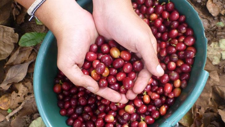 Producción de café en el Quindío es estable