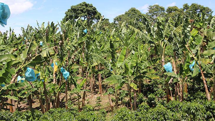 1.200 toneladas de bolsas de plátano se usan al año en Quindío; solo se recicla el 40%