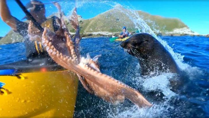 En video: hombre es cacheteado por una foca con un pulpo atrapado en su boca