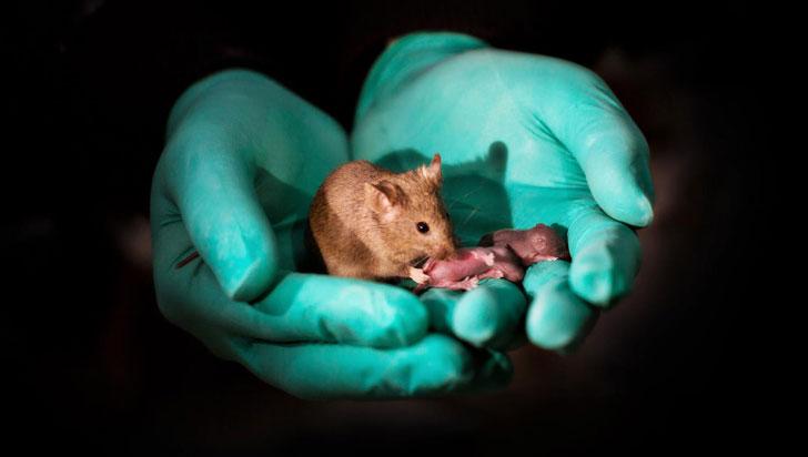 Un laboratorio chino logró que de dos ratones hembras nacieran crías sanas