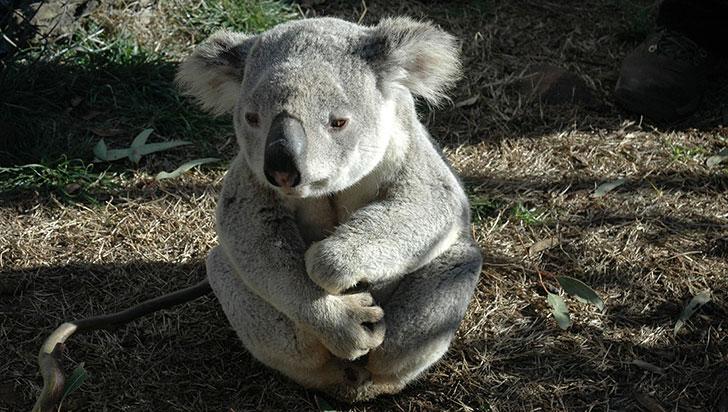 Koalas desaparecen a un ritmo más rápido que la población mundial de animales
