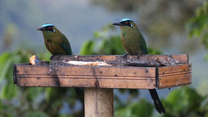 642 especies de aves se pueden observar en el Quindío
