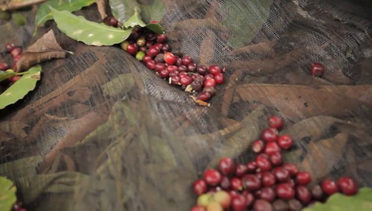 Lonas para recolección de café generan ahorro de 35% en costos de producción