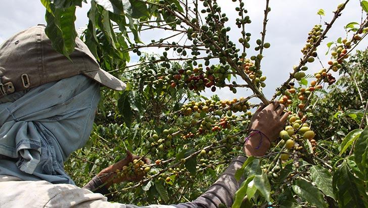 En noviembre, producción de café fue estable en el Quindío