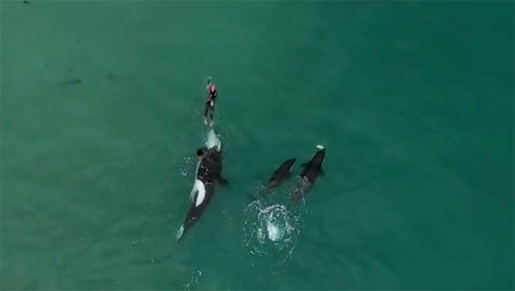 Hermosa escena grabada en que orcas salvajes siguen a una nadadora