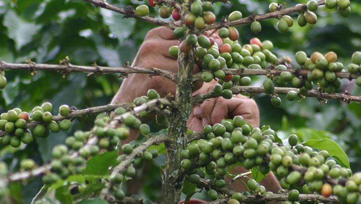 Producción de café en el Quindío se mantiene estable