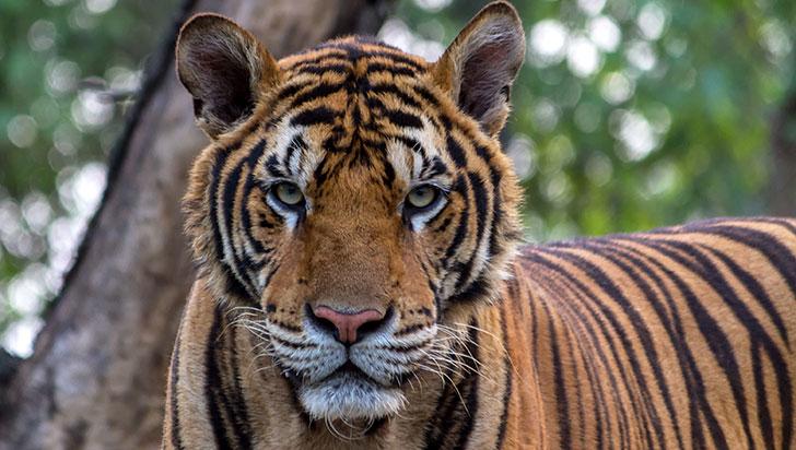 El cambio climático podría acabar con el hogar de los tigres de bengala en 50 años