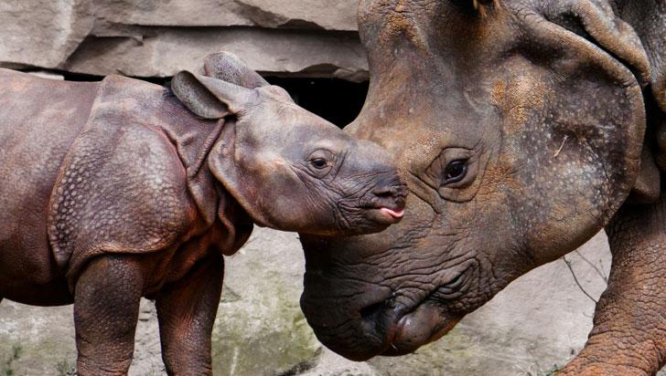 Sudáfrica redujo un 25% la caza de rinocerontes, pero siguen en grave riesgo