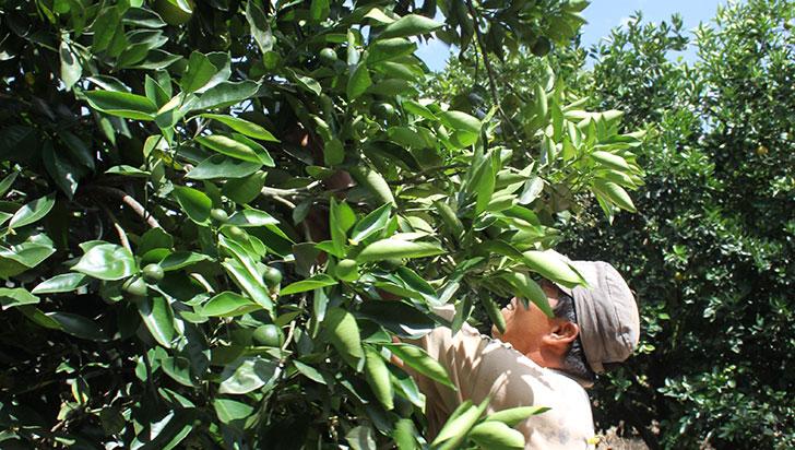 13 predios de naranja en Quindío, con requisitos para exportar a EE. UU.