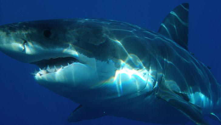 Logran decodificar el genoma completo del gran tiburón blanco