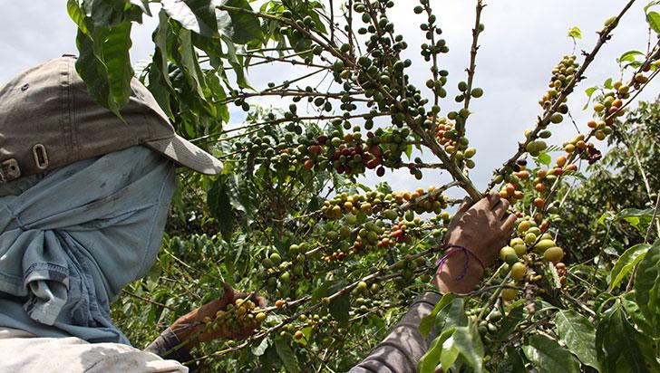 Llamado por importaciones de café que afectarían calidad nacional