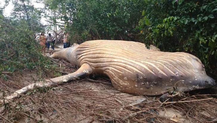 En video: hallan a una ballena blanca en medio de la selva en Brasil