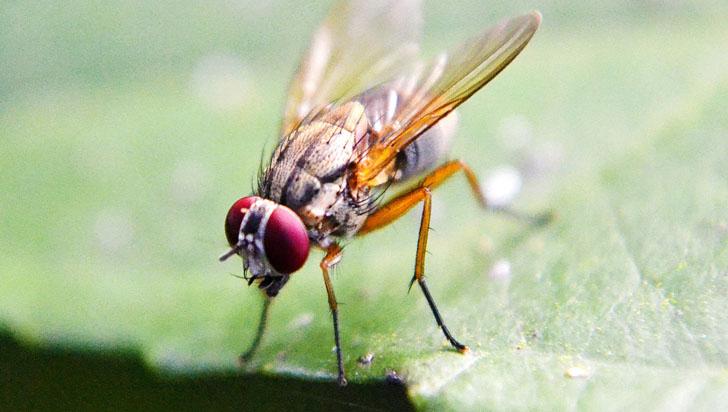 ¿Se queja por no poder dormir? Las moscas pueden vivir prácticamente sin hacerlo
