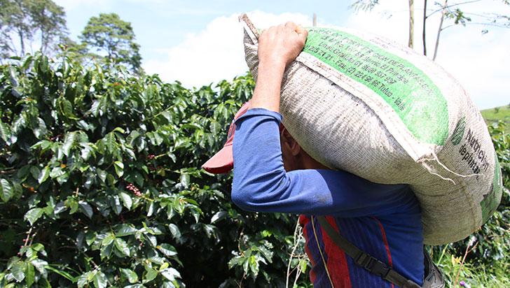 Quindío: leve aumento de producción de café en 2019